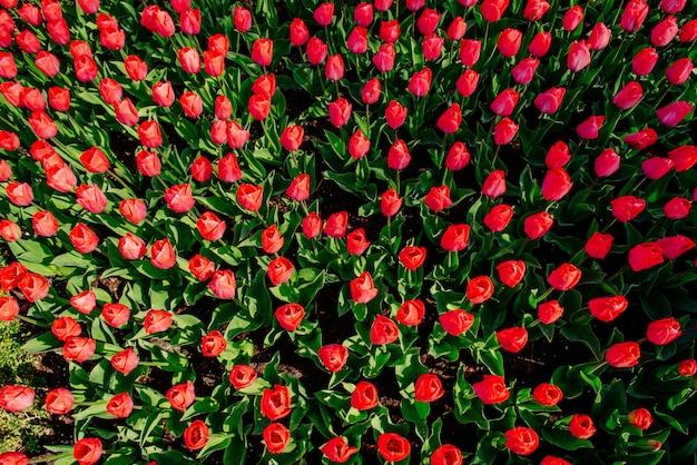 Schöne rote tulpen in den niederlanden an den sonnigen frühlingstagen. Premium Fotos