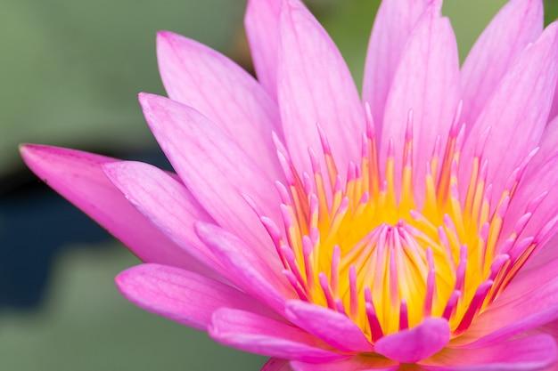 Schöne seeroseblüte im teich Premium Fotos