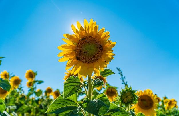 Schöne sonnenblume auf einem gebiet in valensole Premium Fotos