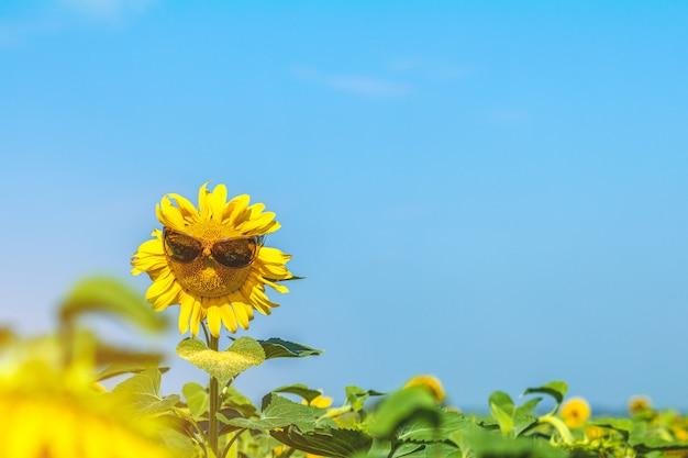 Schöne sonnenblume in den sonnenbrillenschutzbrillen gegen die sonnenblumen auf feld Premium Fotos