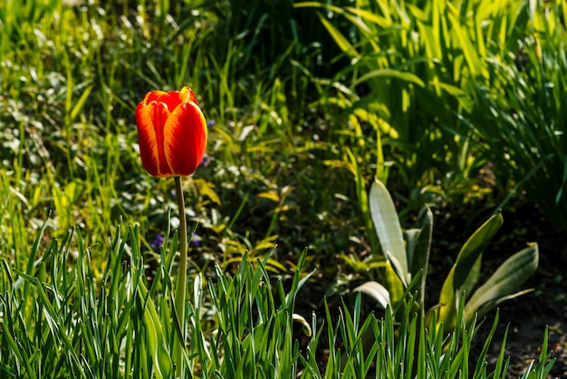 Schöne tulpe mit den roten und gelben blumenblättern nah oben. Premium Fotos