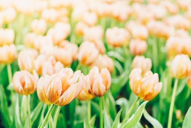 Schöne und bunte tulpen im garten Premium Fotos