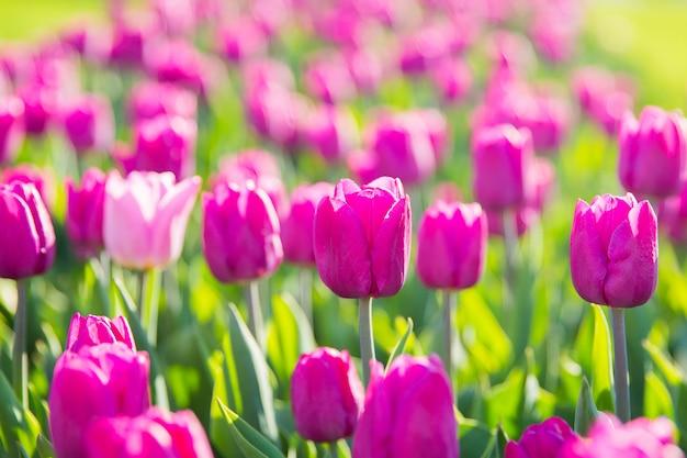 Schöne violette tulpen im garten. blumen für den tag der frau Premium Fotos
