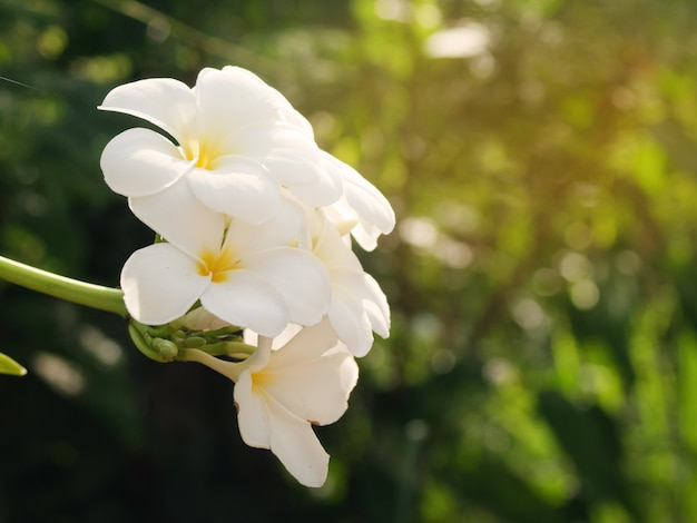 Schöne weiße frangipaniblumen im freien Premium Fotos