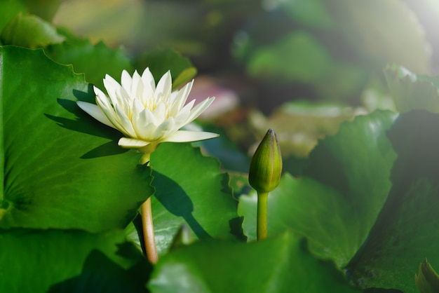 Schöne weiße lotos- oder seerosenblume blühen und knospen. Premium Fotos