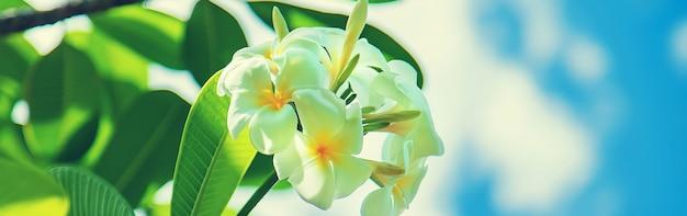 Schöne weiße plumeria blüht auf einem baum Premium Fotos
