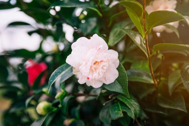 Schöne weiße rose auf pflanze Kostenlose Fotos
