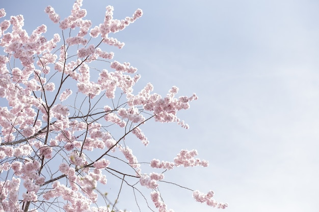Schöne weite aufnahme von rosa sakura-blumen oder kirschblüten unter einem klaren himmel Kostenlose Fotos