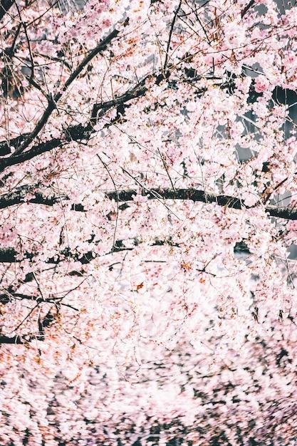 Schöne zweige mit kirschblütenblüten gegen den hellen himmel Kostenlose Fotos