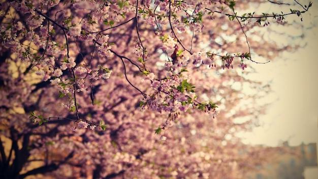 Schöner blütenbaum natur-szene mit sonne am sonnigen tag. frühlingsblumen. zusammenfassung verschwommen hintergrund im frühjahr. Premium Fotos