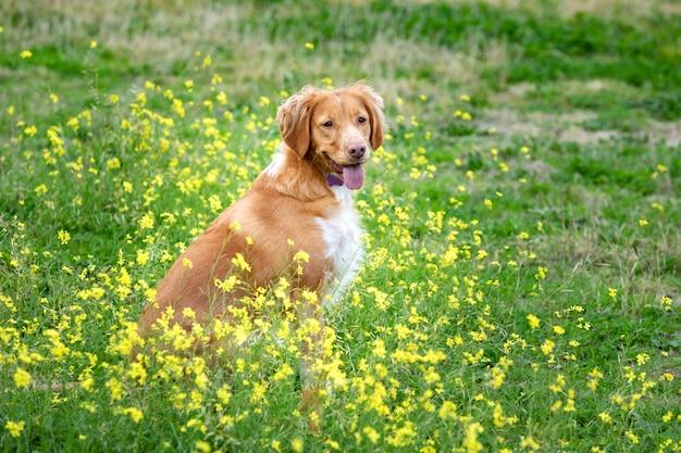 Schöner brauner bretonischer hund in einer wiese Premium Fotos