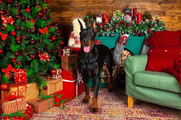 Schöner dobermannhund, feiertag, neues jahr Premium Fotos