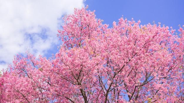 Schöner frühling cherry blossom und blauer himmel morgens. Premium Fotos