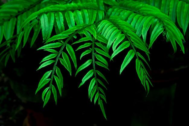 Schöner grüner farn verlässt im dunklen gebrauch für abstraktes bild für hintergrund. Premium Fotos