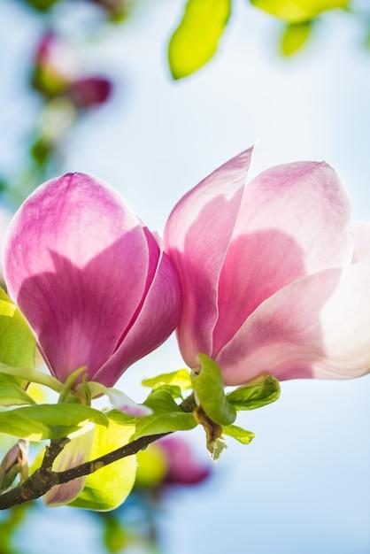 Schöner hellrosa / purpurroter magnolien-baum Premium Fotos