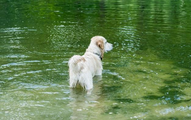 Schöner hund, der im fluss steht, der grüne bäume reflektiert Premium Fotos