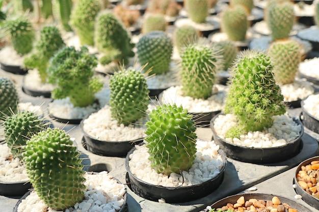 Schöner kaktus zum verkauf Premium Fotos