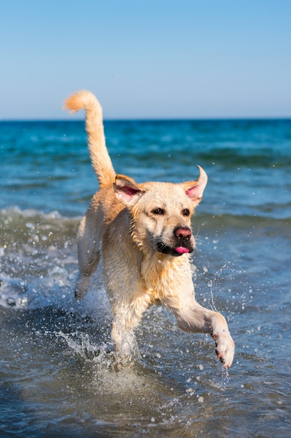 Schöner labrador-hund, der spaß am strand hat Premium Fotos
