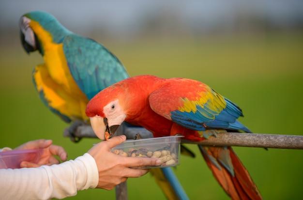 Schöner macaw, reizender bunter macawvogel. Premium Fotos