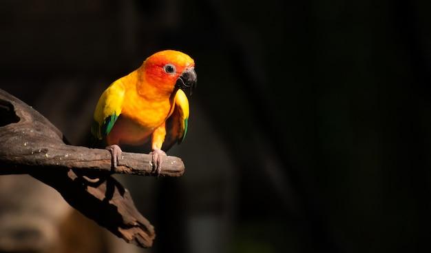 Schöner papagei, sun conure auf baumast Premium Fotos