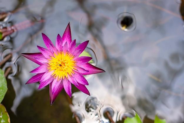 Schöner purpurroter lotos und schatten reflektierten sich im wasser Premium Fotos