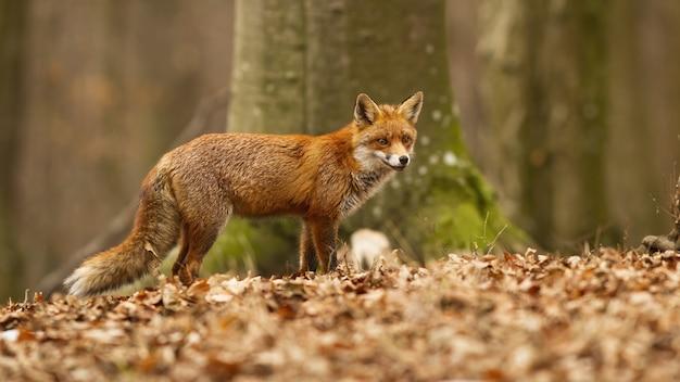 Schöner roter fuchs mit flauschigem fell, das im trockenen laub im buchenwald aufwirft Premium Fotos