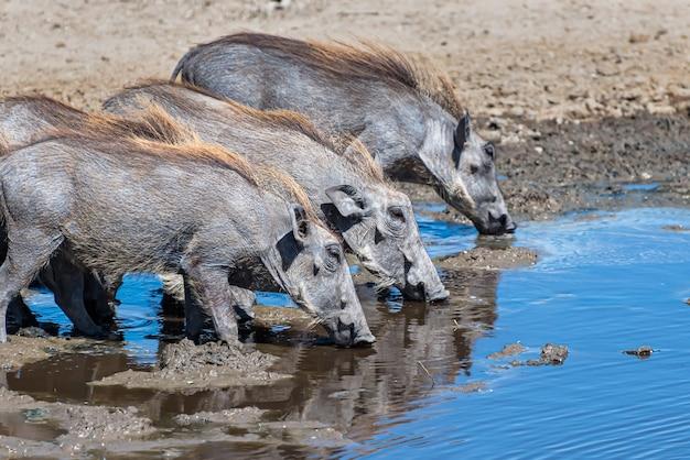 Schöner schuss der afrikanischen gemeinen warzenschweine entdeckte trinkwasser auf einer grasebene Kostenlose Fotos