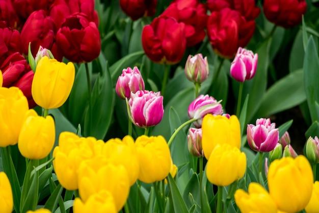 Schöner schuss der bunten tulpen im feld an einem sonnigen tag Kostenlose Fotos