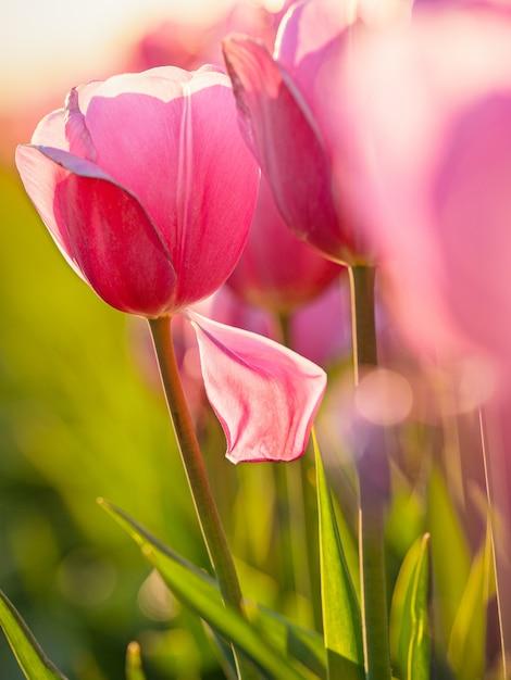 Schöner schuss des rosa tulpenfeldes Kostenlose Fotos
