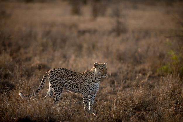 Schöner schuss eines afrikanischen leoparden in einem feld Kostenlose Fotos