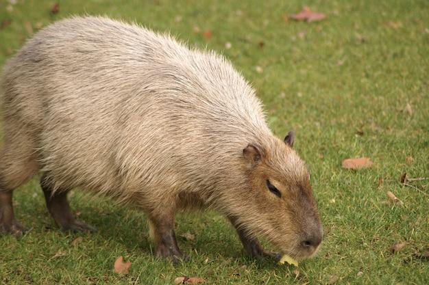 Schöner schuss eines capybara-säugetiers, das auf dem gras im feld geht Kostenlose Fotos