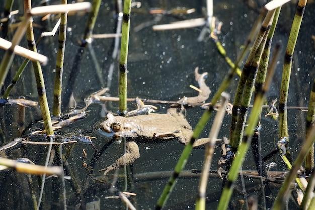Schöner schuss eines frosches, der im kleinen see sulfne auf südtirol, italien schwimmt Kostenlose Fotos