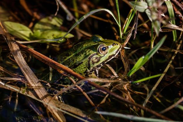 Schöner schuss eines frosches mit einem intensiven blick im wasser Kostenlose Fotos