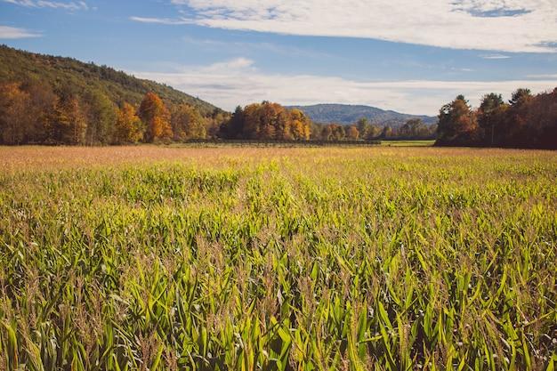 Schöner schuss eines großen maisfeldes während des frühlings Kostenlose Fotos
