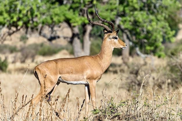 Schöner schuss eines männlichen impalas in den feldern Kostenlose Fotos