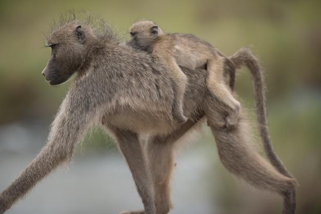 Schöner schuss eines mutterpavians mit ihrem baby, das auf ihrem rücken reitet Kostenlose Fotos