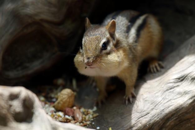 Schöner schuss eines niedlichen chipmunk, der nüsse im royal botanical gardens im sommer isst Kostenlose Fotos