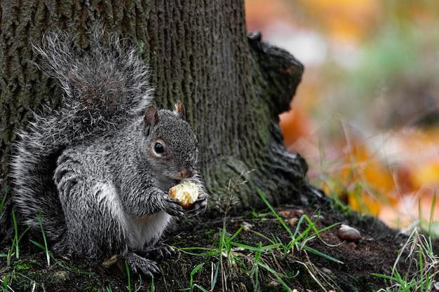 Schöner schuss eines niedlichen fuchs-eichhörnchens, das haselnuss hinter einem baum isst Kostenlose Fotos