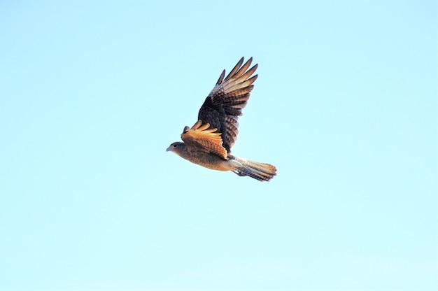 Schöner schuss eines nördlichen harriervogels, der unter dem klaren himmel fliegt Kostenlose Fotos