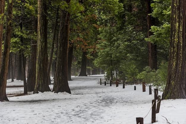 Schöner schuss von hohen bäumen mit schneebedecktem boden im yosemite-nationalpark Kostenlose Fotos