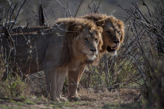 Schöner schuss von zwei männlichen löwen Kostenlose Fotos