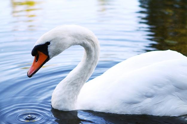 Schöner schwan auf dem fluss Kostenlose Fotos