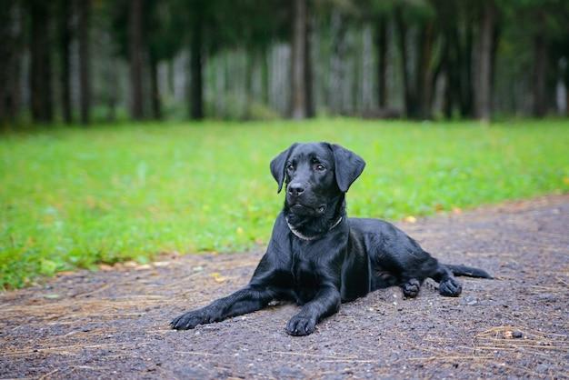 Schöner schwarzer apportierhund auf einem gehweg im park. grüner park. weicher fokus Premium Fotos