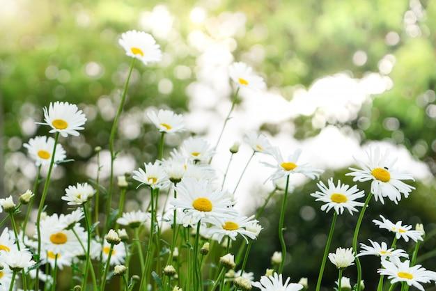 Schöner sommer mit blühender gänseblümchenblume auf dem unscharfen hintergrund Premium Fotos