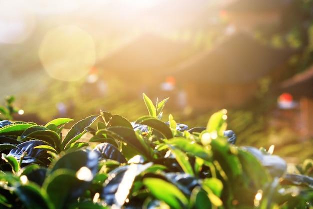 Schöner sonnenaufgang, der auf teeblättern in den teeplantagen auf dem berg in thailand scheint Premium Fotos