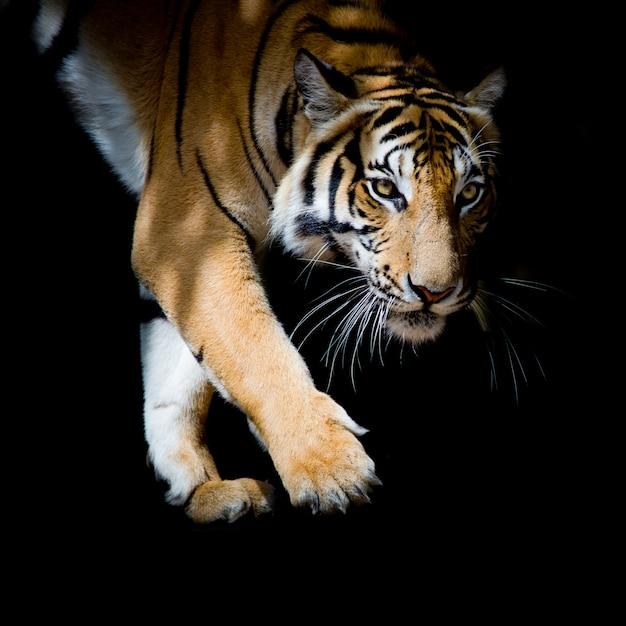 Schöner tiger, der schritt für schritt lokalisiert auf schwarzem hintergrund geht Premium Fotos