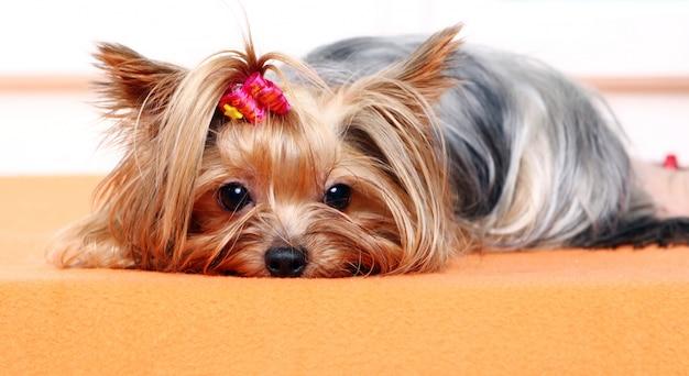Schöner und netter york-terrierhund Kostenlose Fotos