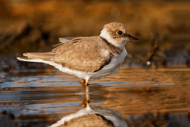 Schöner watvogel, der auf dem wasser trinkt Premium Fotos