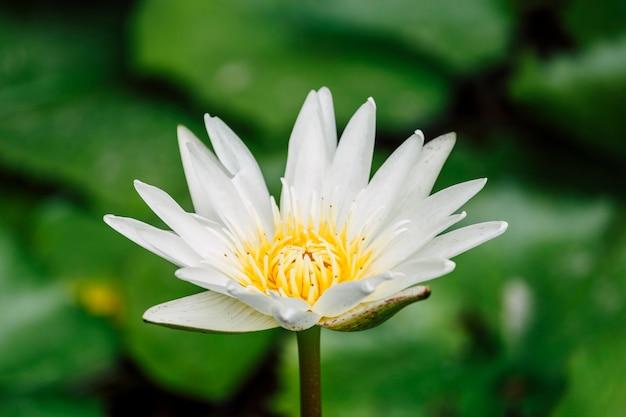 Schöner weißer lotos im pool Kostenlose Fotos