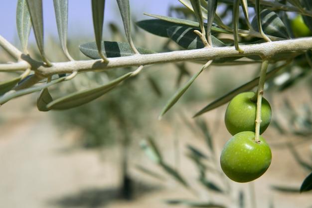 Schönes feldmakro der grünen olive über blauem himmel Premium Fotos